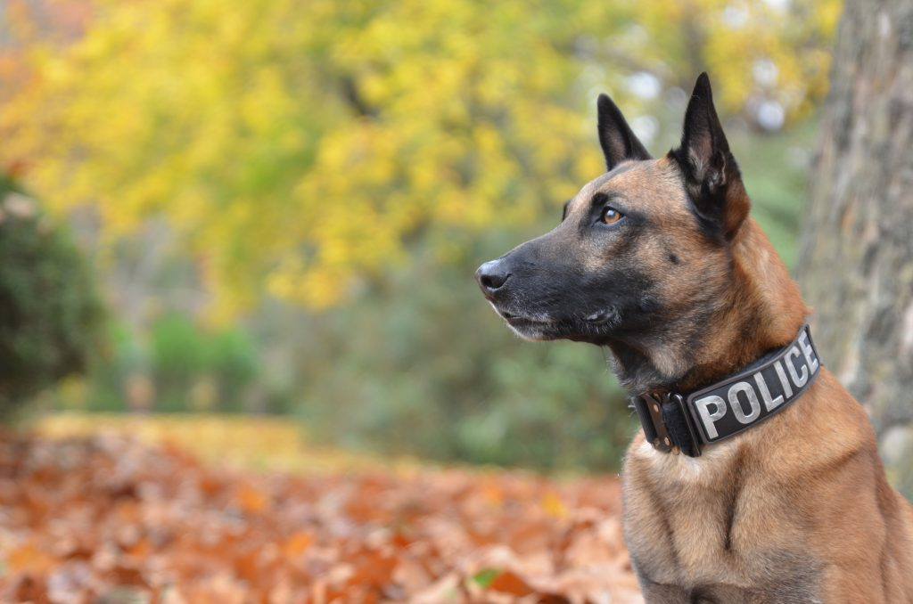 Police Dog With Official Collar